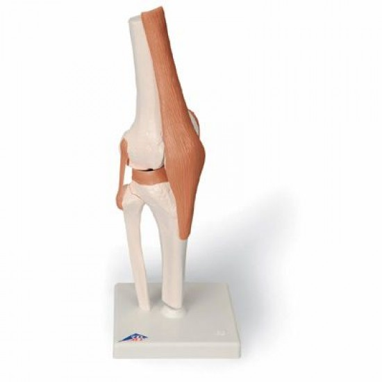 Anatomisch model - Kniegewricht