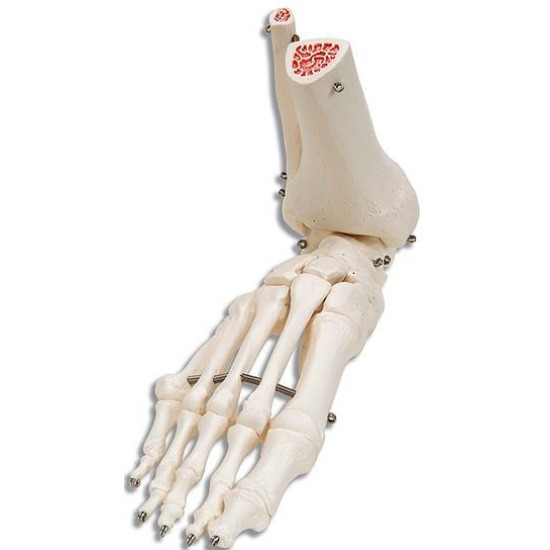 Anatomisch model - Enkelgewricht