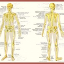 Anatomische Kaart A2 Skelet