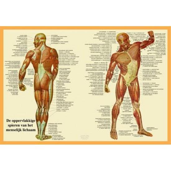 Anatomische Kaart A2 Spieren