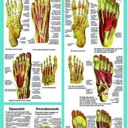 Anatomische Kaart A2 Voet