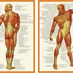 Anatomische Kaart A4 Spieren