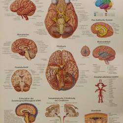 Poster Hersenen (Duitstalig)