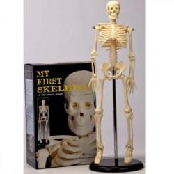 Skelet op standaard 40 cm