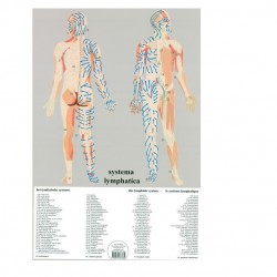 Poster Lymfatisch Systeem gelamineerd 50x67cm