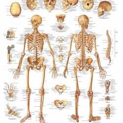 Poster Het Menselijk Skelet (Dubbelzijdig Gelamineerd)