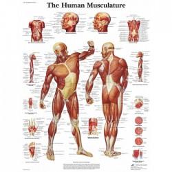 Poster spieren 50x67 cm (papier)
