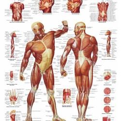 Poster Spierenstelsel (Dubbelzijdig Gelamineerd)