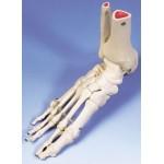 Anatomische modellen (11)