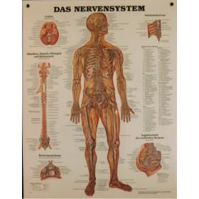 Poster Zenuwstelsel (Duitstalig)